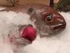 A vegetarian fish?